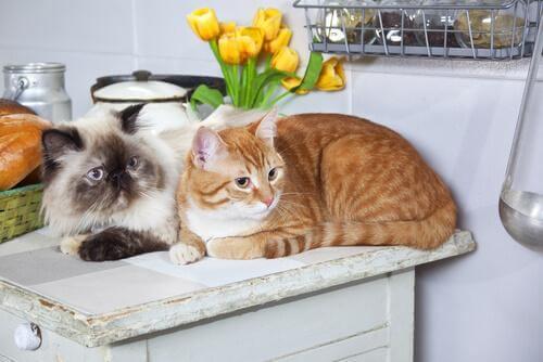Katte på et køkkenbord