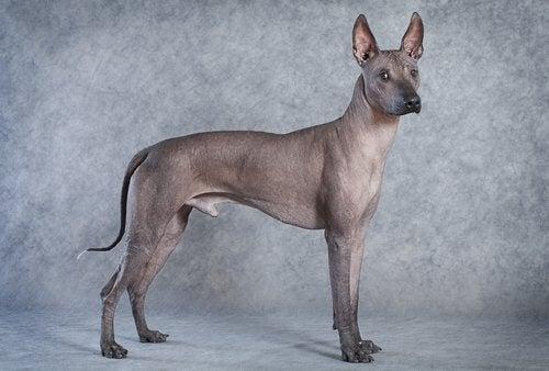 en mexicansk hårløs hund