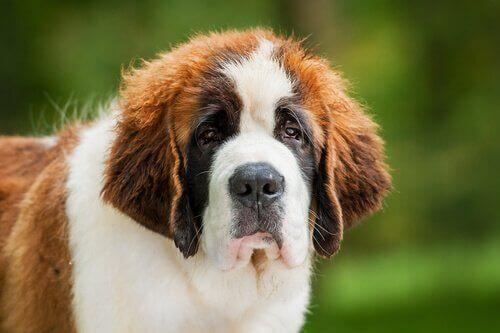 Sankt bernhardhunde er venlige, kærlige, elsker børn og er naturligt beskyttende