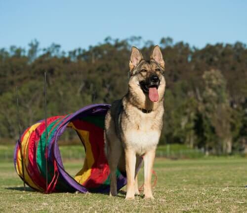 Når du leger gemmeleg med din hund, stimulerer du både dyrets syns og lugtesans