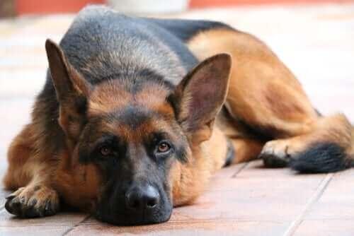 En schæferhund testede positiv for coronavirus