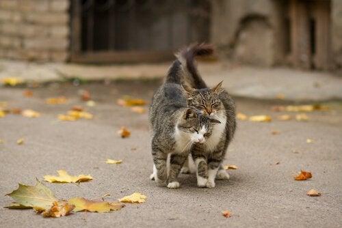 Hvordan er det, at katte markerer deres territorium?