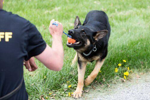 Mand træner hund med en bold