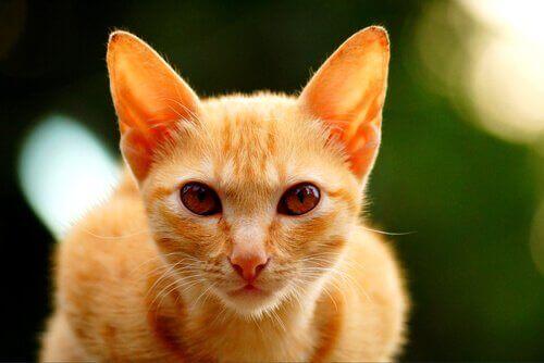 En orange kat med rejste ører