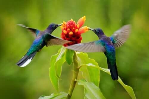 Kolibrier flyver om blomst