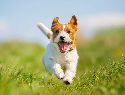Fem måder til at afhjælpe forstoppelse hos hunde