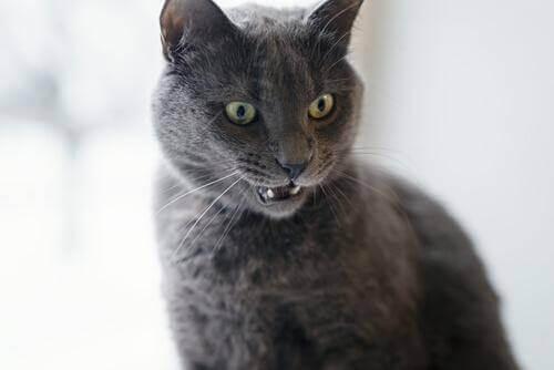 Tegn på, at din kat er vred