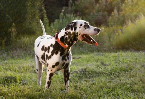 Hunde logrer med halen, når de er kede af det