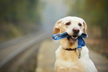 Sådan får du din hund til at gå med halsbånd