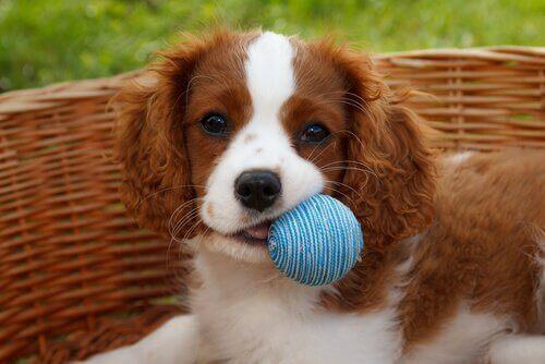 De fleste hunde elsker at lege med en bold