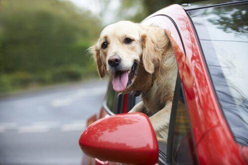 Hund i bil med hoved ud af vindue