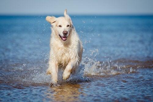 Hund løber i vandkant på stranden