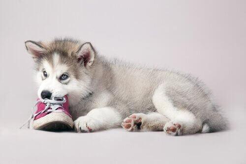 Det er et kendt fænomen at hunde, og især hvalpe, bider i alt, de kommer i nærheden af