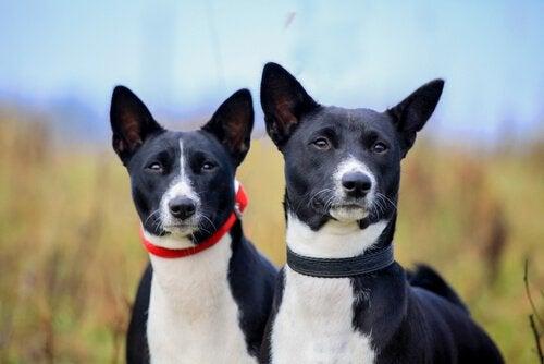 Om sommeren skal du beskytte en hunds ører