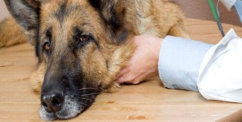 Sygdomme og indre parasitter hos hunde