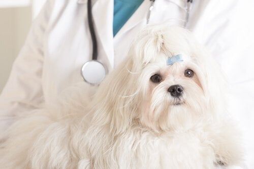 Kemoterapi til hunde