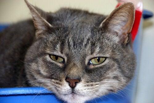 Sløv kat lider af forhøjet stofskifte