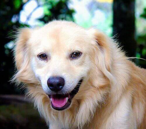 Eksempel på, at hunde smiler