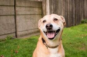 Smiler hunde med vilje? Lad os finde ud af det!