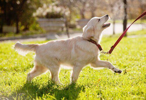Hund går med snor