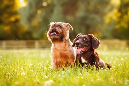 To hunde sidder sammen på græs