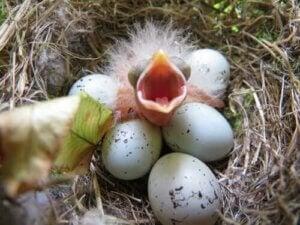 Fugleunge med åben mund