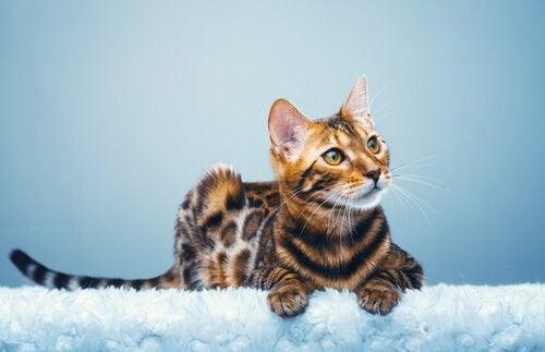 Bengalkatten, en miniatureleopard i hjemmet