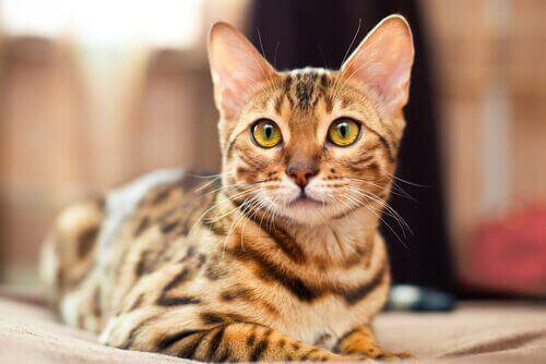 Bengalkatten har smukt, kort, tabby-farvet pels over hele kroppen