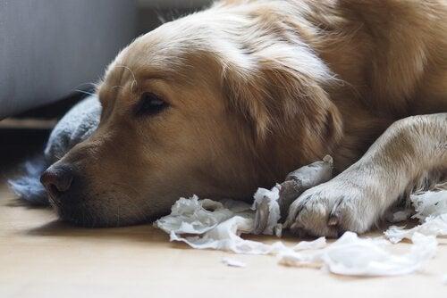Hund på gulv har ødelagt papir som følge af ikke at lære hunde selvkontrol