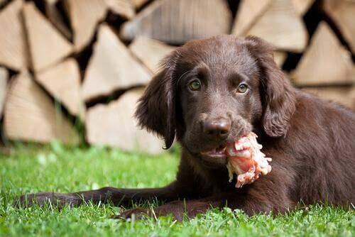 Hund ligger med kødben i munden