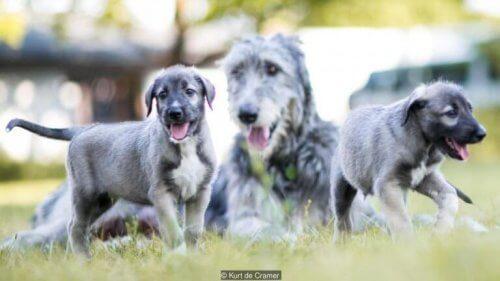 De to enæggede tvillingehunde lever i bedste velgående sammen med deres mor i Sydafrika