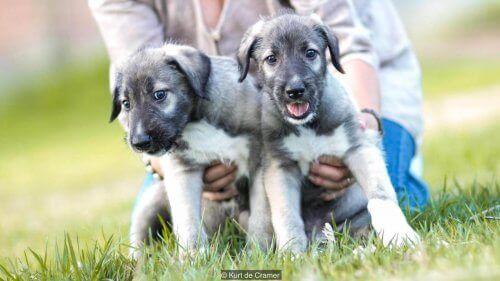Mød Romulus og Cullen, de første enæggede tvillingehunde nogensinde registret