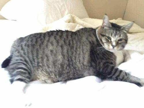 Logan er en otte år gammel kat, der vejer 13 kg. Han er blevet udråbt til verdens fedeste kat på sociale medier