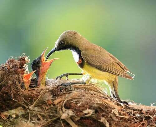 Fugl fodrer unger i rede