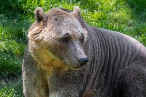 Hybriddyr i naturen: Grolarbjørnen