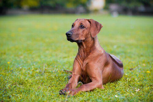 Vidste du, at hunde kan være glutenintolerante?