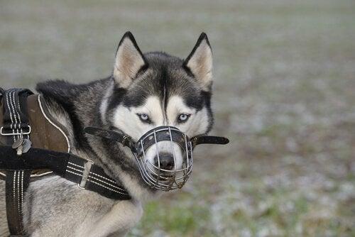 Hund med sele og mundkurv illustrerer forberedelser til at tage en hund med på flyet