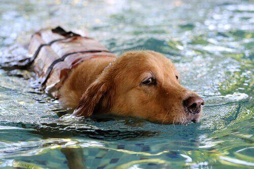 En hund svømmer i en pool