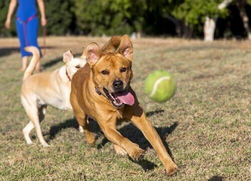 Hunde spiller spil, hvor de skal fange bold