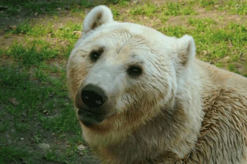 Grolarbjørnen er et hybriddyr, der stammer fra krydsningen mellem en isbjørn og en amerikansk Grizzly-bjørn