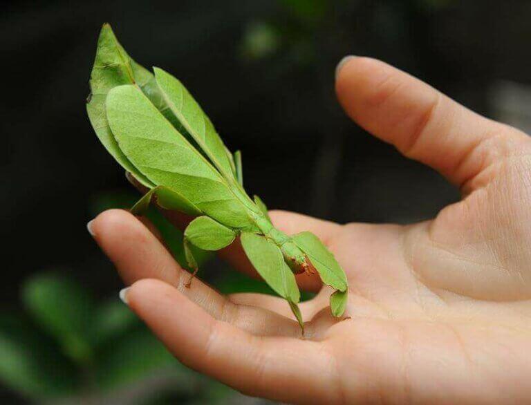 Fantastisk insektcamouflage: Dygtige til forklædning