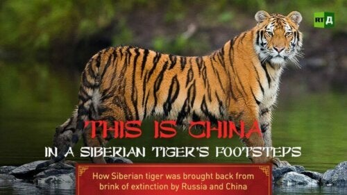 Der er lavet en dokumentar om den kinesiske regerings indsats for at bevare den sibiriske tiger
