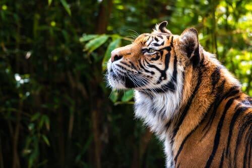 I en sibirisk tigers fodspor