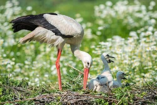 Forældreomsorg illustreres af stork med unge