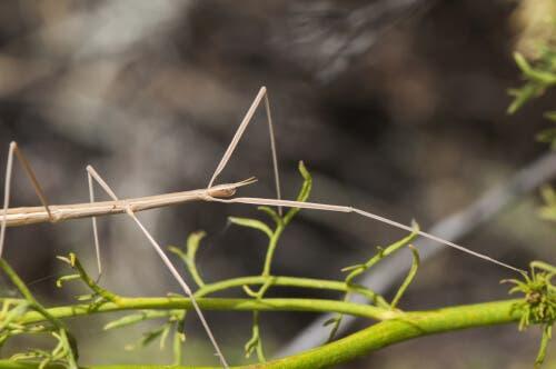 Leptynia hispanica er den iberiske vandrende pind par excellence og overstiger ikke 5 cm i længden i voksenfasen