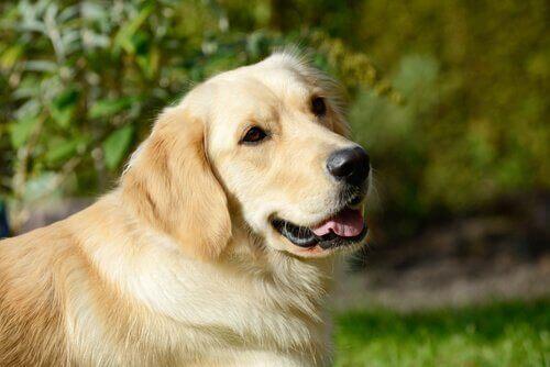 Hvorfor må du ikke give en hund cannabis?
