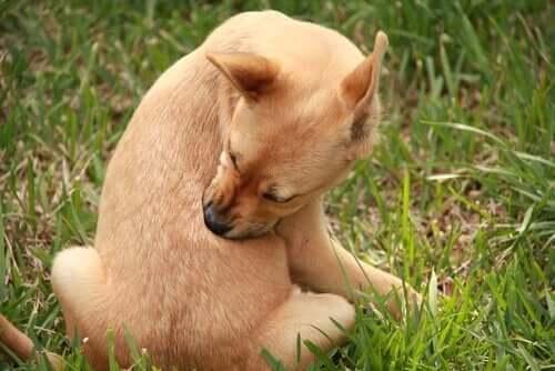 Hund bider sig på ryg