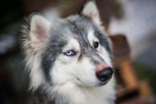 Hvorfor sker det, at hunde får hikke?