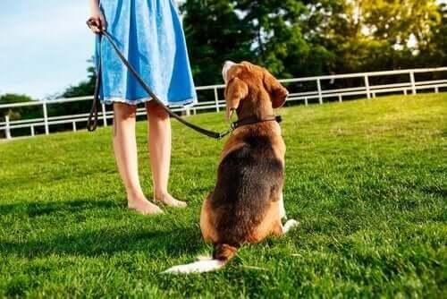 Cini er en af de første hunde i verden, der er trænet som diabetes servicehund