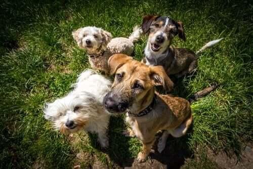 Flere hunde på græsplæne